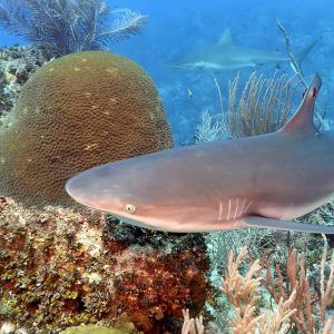 Cayman Reef Shark